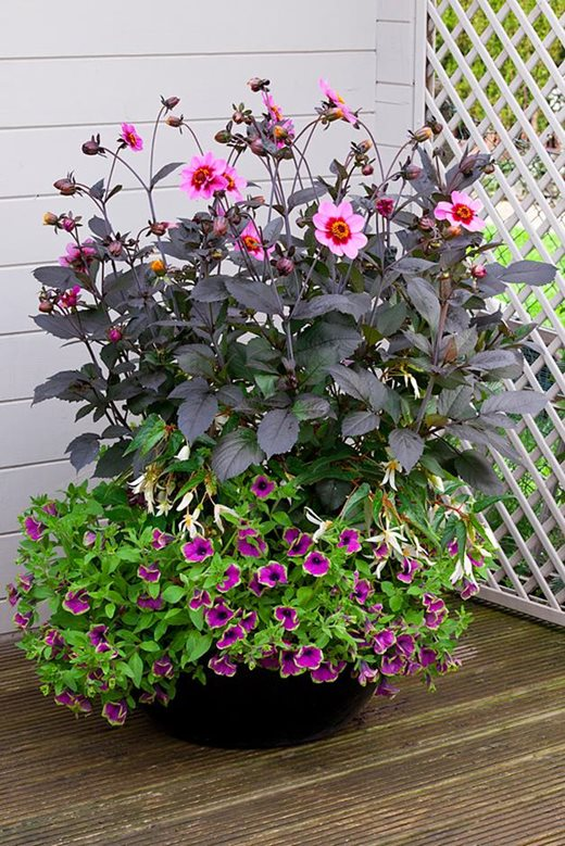 A bursting container featuring a dahlia with a begonia and a petunia