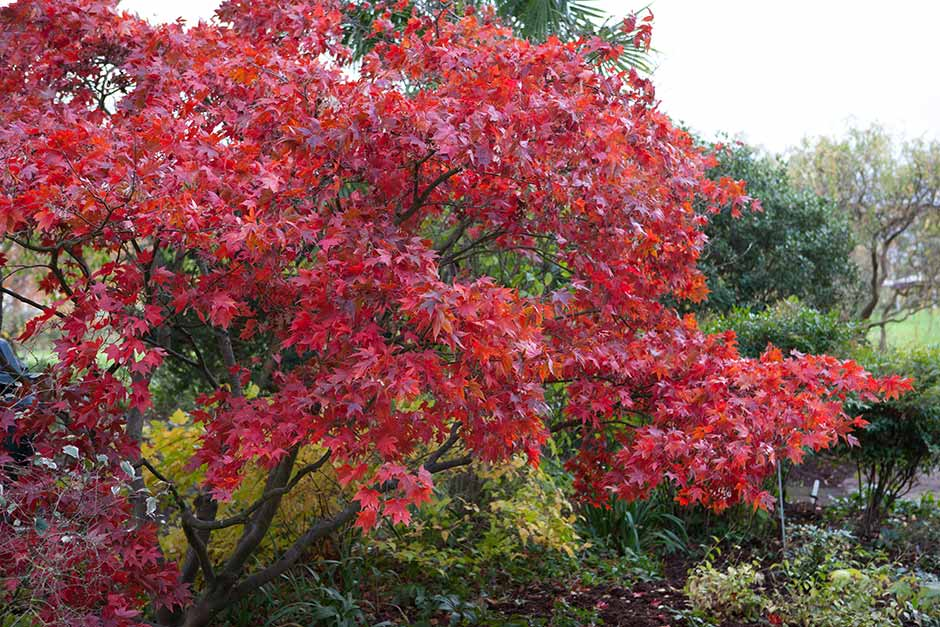 Discover Japanese maples
