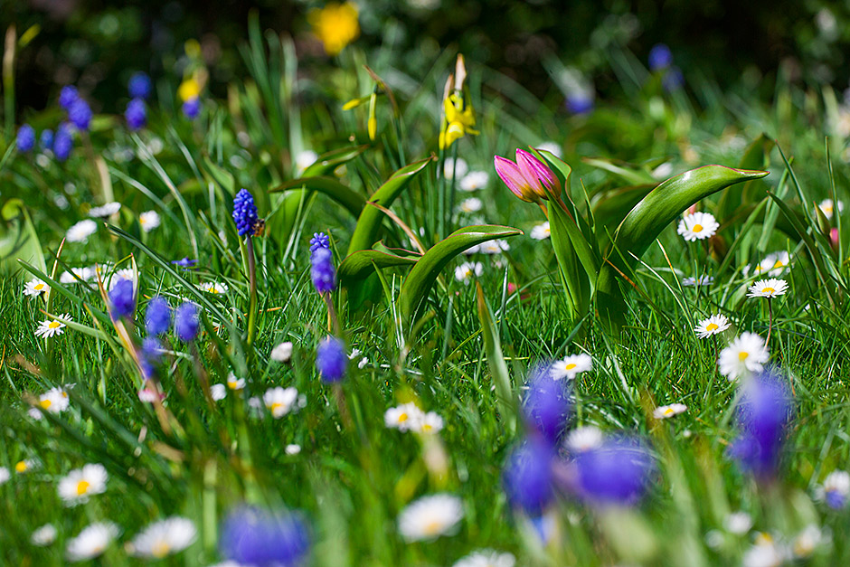 How to plant bulbs in grass