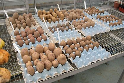 Using egg trays to house potatoes for chitting