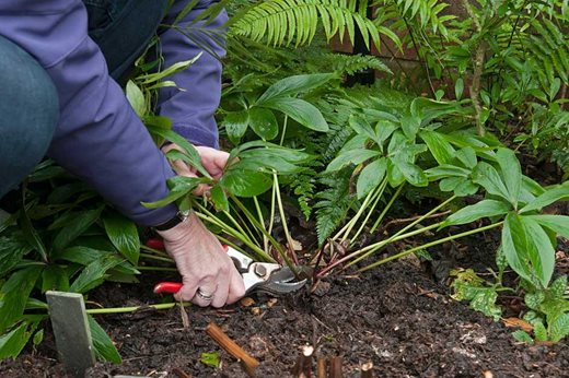 Removing old leaves from hellebores