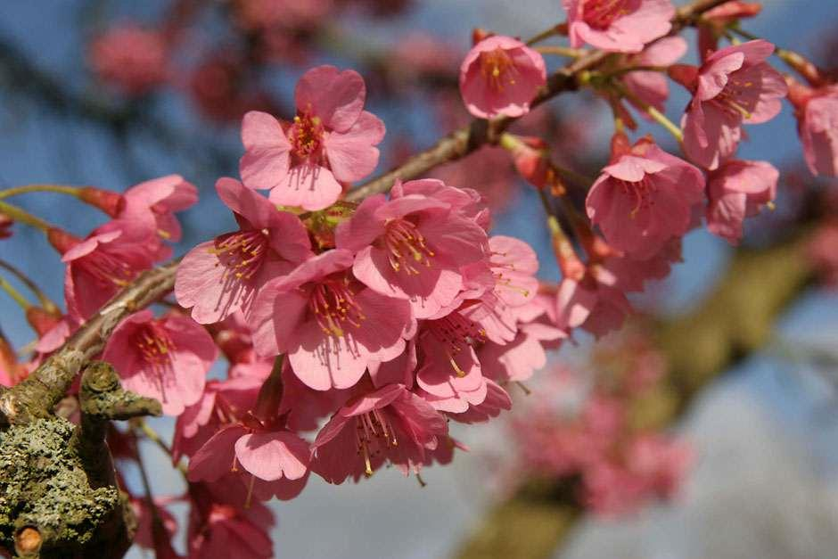 Cherry Trees Perfect For Small Gardens