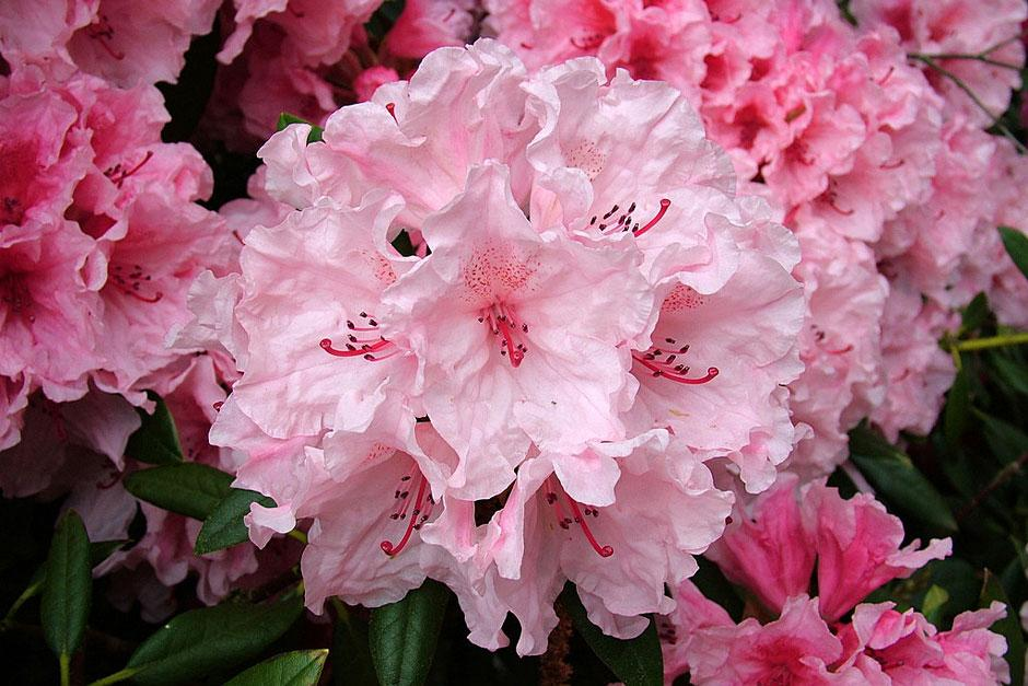 Read 'Rhododendron century' by RHS Executive Vice President Jim Gardiner