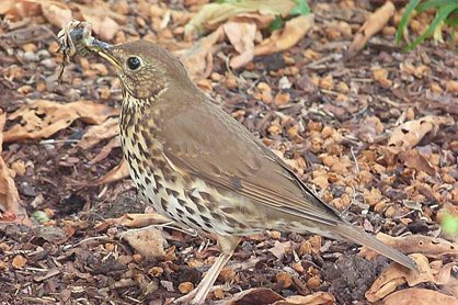 Song thrush preparing its slimy meal