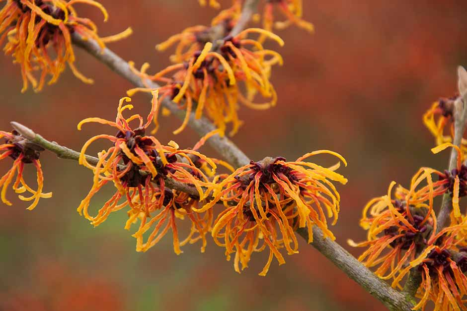 Discover witch hazel