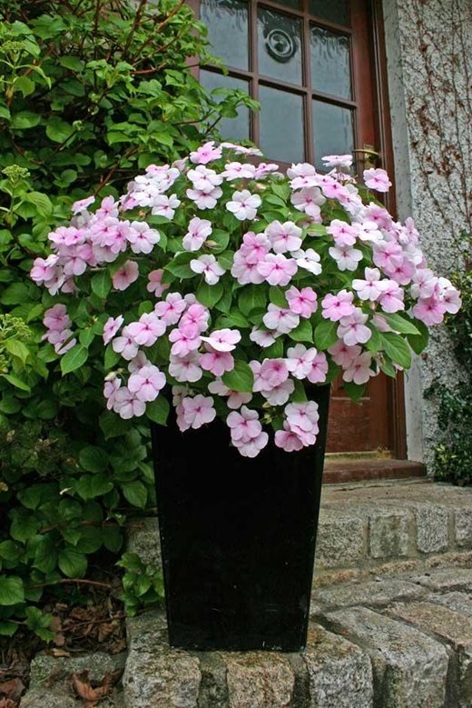 Impatiens 'Ray of Hope'