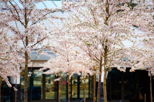 Prunus x yedoensis trees at the Welcome building entrance