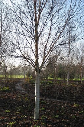 Betula utilis 'Fascination'