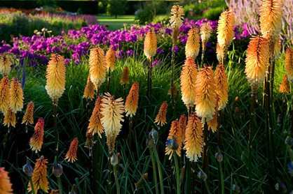Kniphofia 'Tawny King' makes a strong statement in the Main Borders at Harlow Carr in July