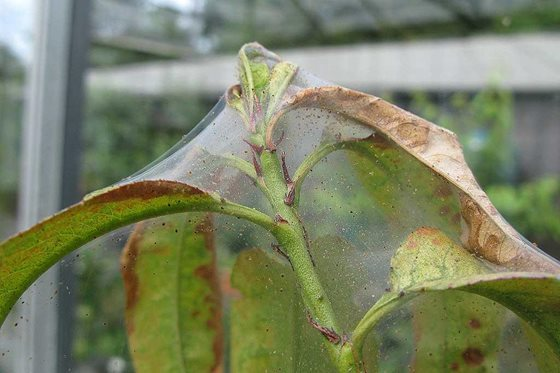 Glasshouse red spider or two spotted mite