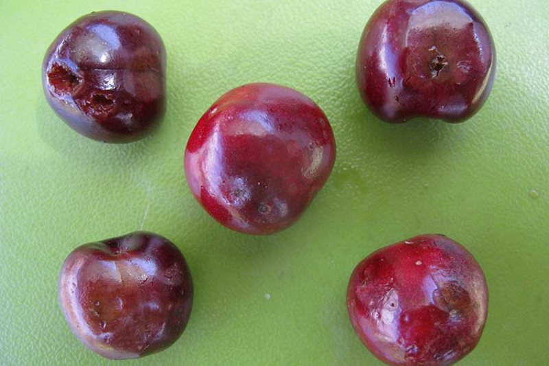 Spotted wing Drosophila Damaged cherry fruits