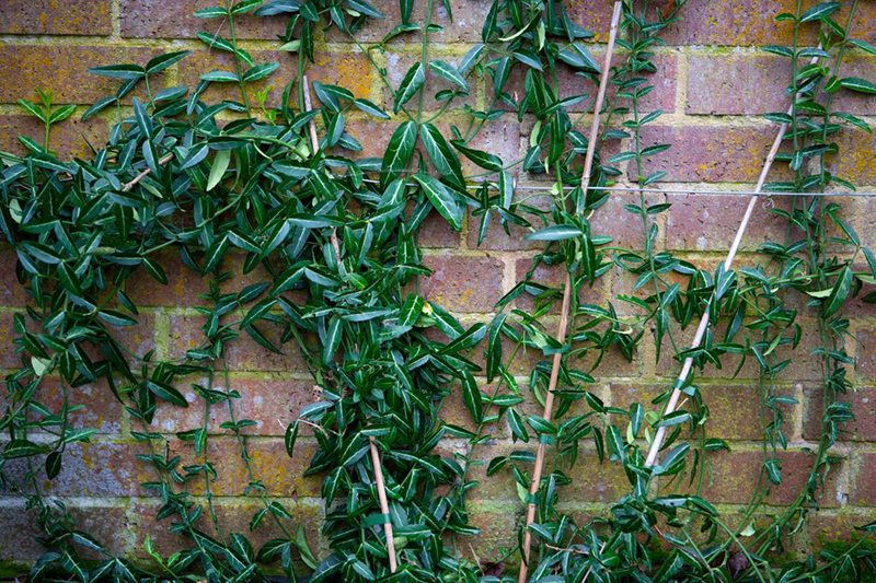 Euonymus fortunei 'Wolong Ghost' © Dorling Kindersley