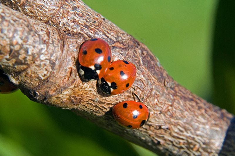 Ladybirds on a branch