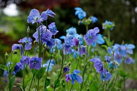 Harlow Carr's meconopsis trial