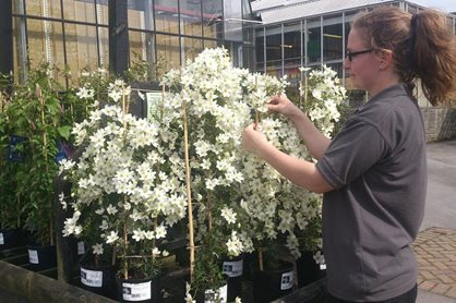 Tying in climbers in the Plant Centre