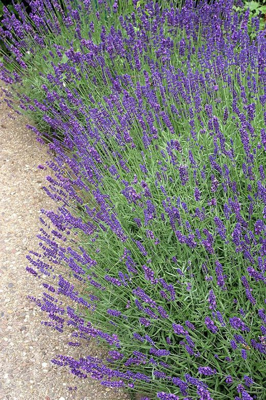 Lavender spilling over onto a path
