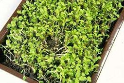 seedlings suffering from some damping off