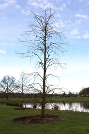The 'manic waving arms' of Metasequoia glyptostroboides