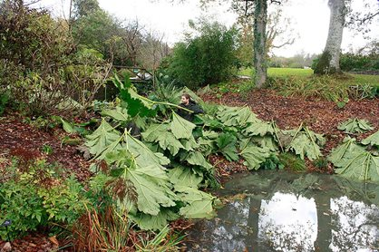 Removing the leaves from the Gunnera plant