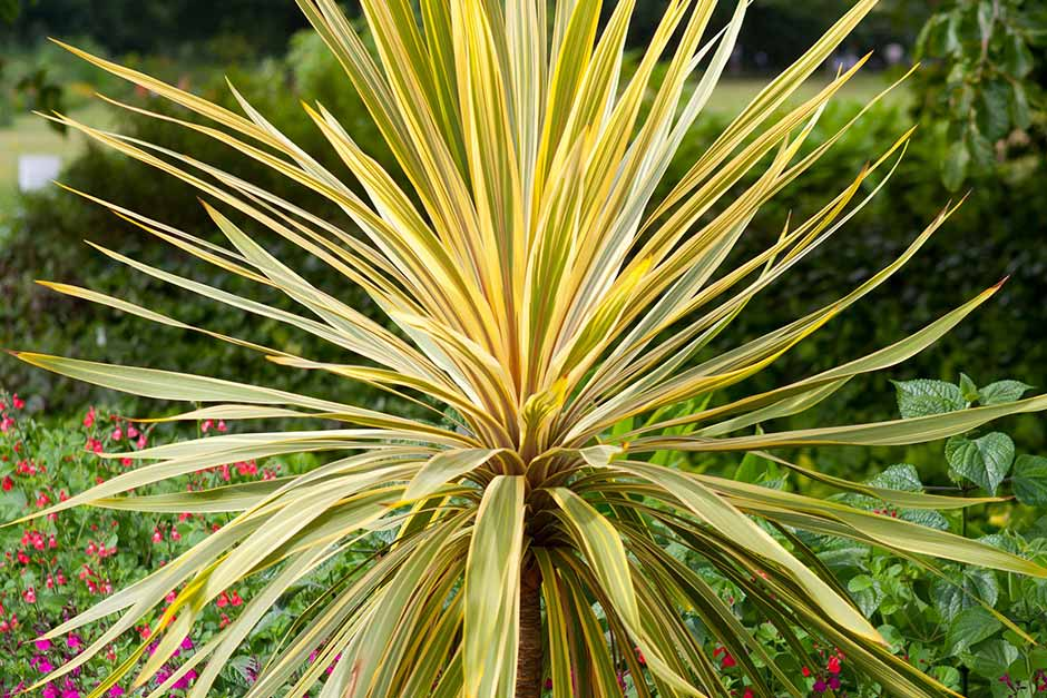 How to grow cordyline / RHS Gardening