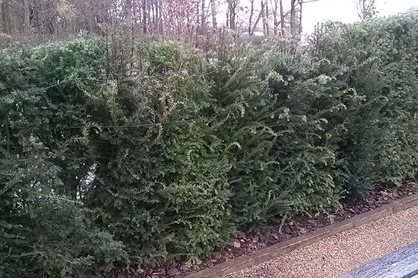 The renewed yew hedge, all present and correct
