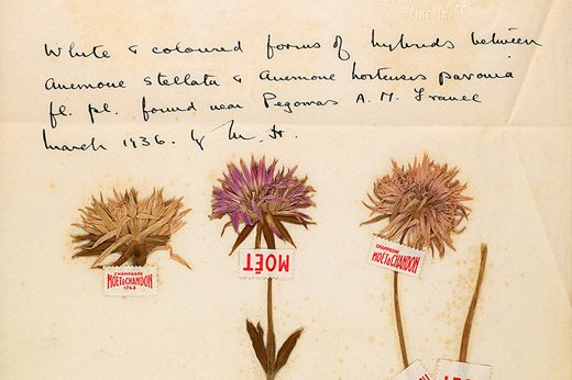 Dried specimens of Anemone collected in Pégomas, mounted with Möet & Chandon labels, 1936. © Murray Hornibrook / Credit RHS Lindley Library