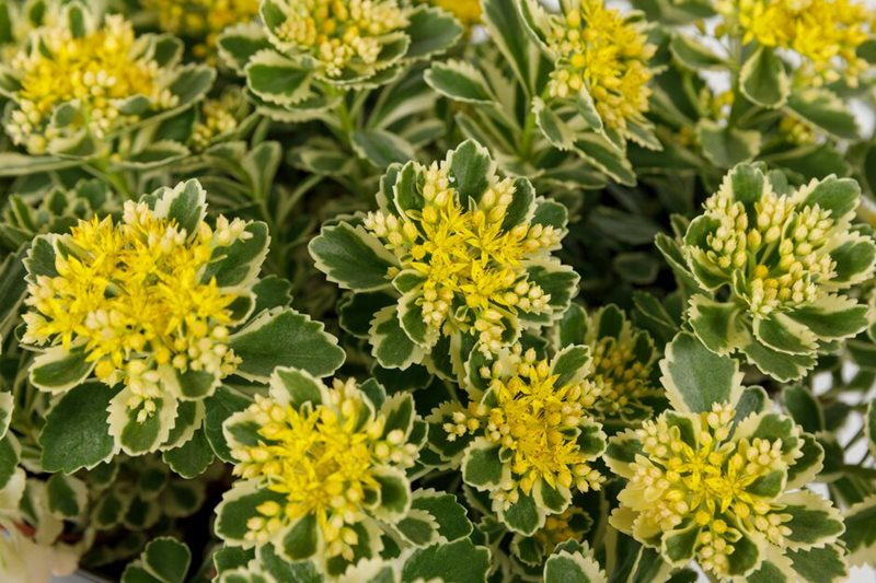 Sedum takesimense ATLANTIS ('Nonsitnal')