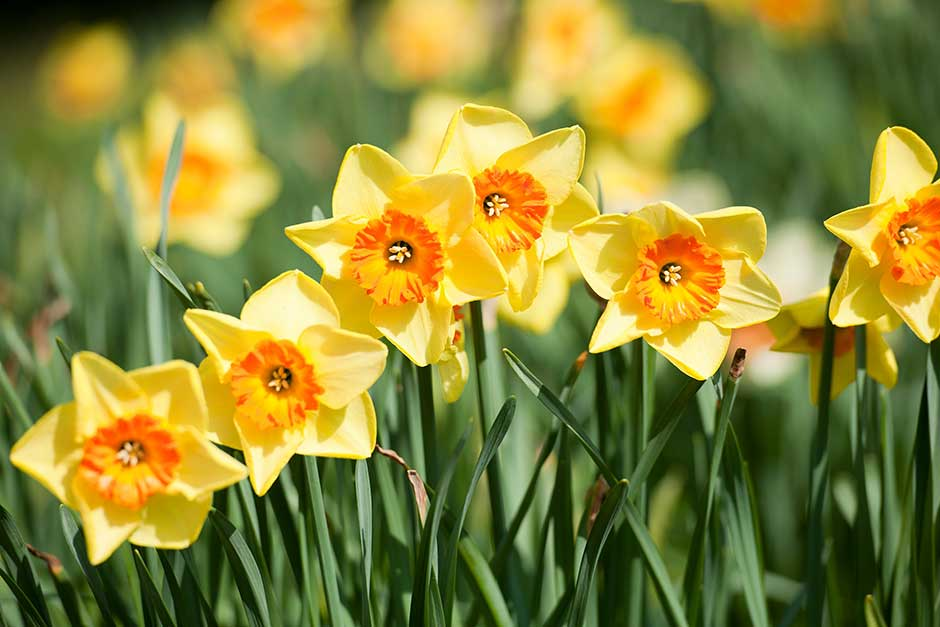 Discover daffodils