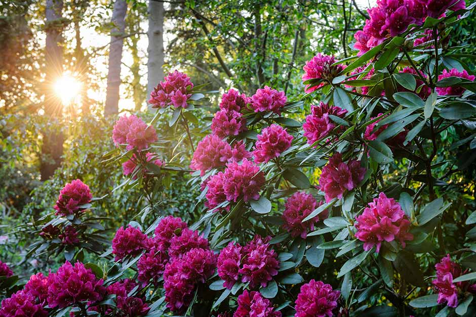 Discover rhododendrons