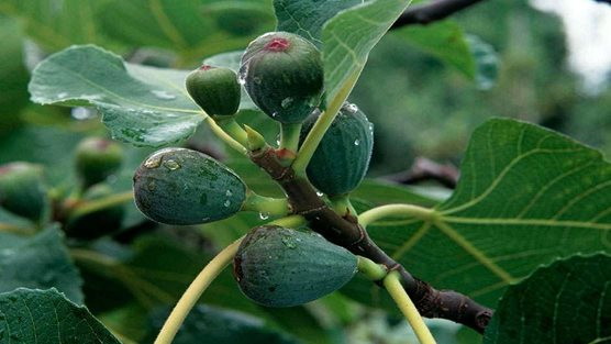 How To Grow Figs Rhs Gardening