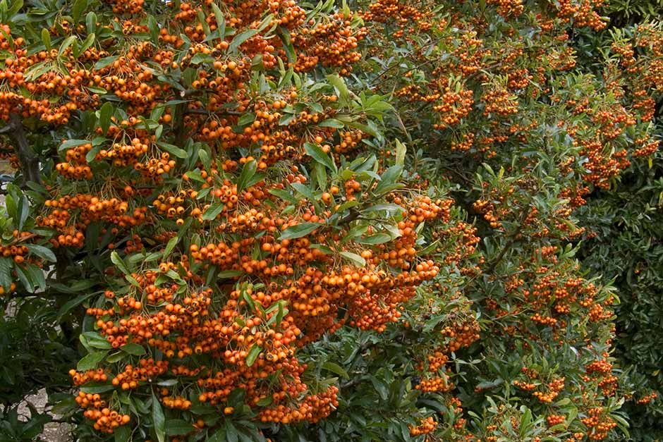 Discover pyracantha