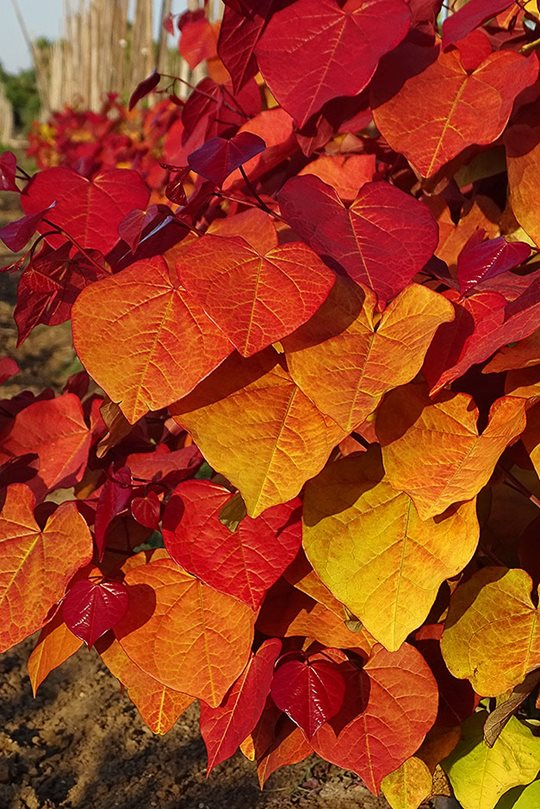 Cercis canadensis Eternal Flame ('NC2016-2')