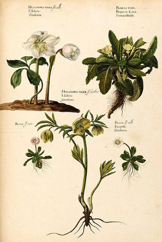 Watercolour by Pieter van Kouwenhoorn of a collection of flowers drawn from nature, including Helleborus niger