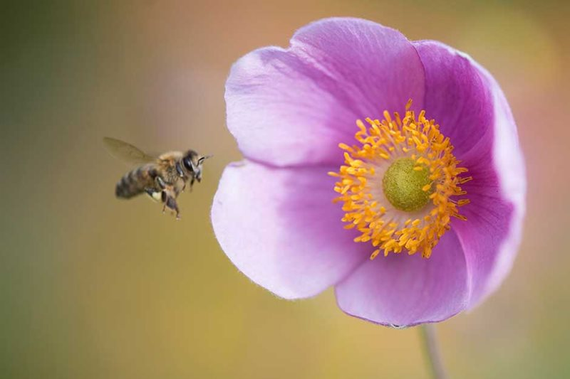 Bee flying towards a Japanese anemone