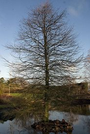 Taxodium distichum (swamp cypress) with its bare winter branches