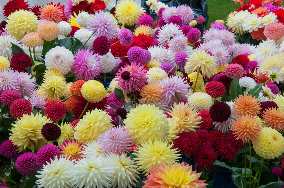 Massed dahlias at the Wisley Flower show