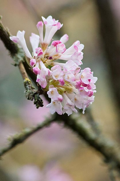 The scented flowers of Viburnum 'Charles Lamont' stand out against bare branches