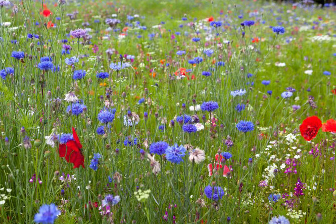 How to grow a mini wildflower meadow