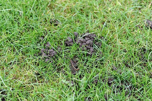 worm cast in lawn