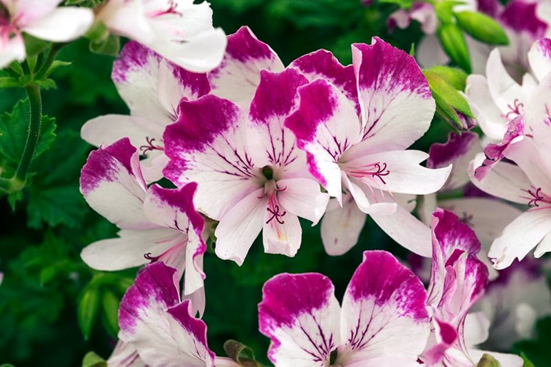 Angel pelargonium 'Fairy Orchid'